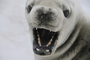 crabeater-seal-541832_1280